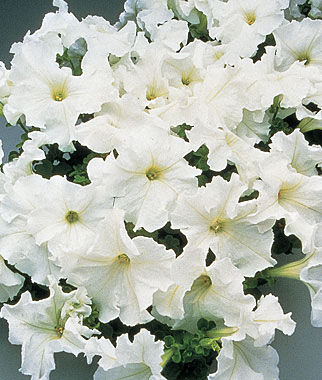 Petunia, Supercascade White , , large