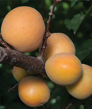 Apricot, Canadian White Blenheim, , large