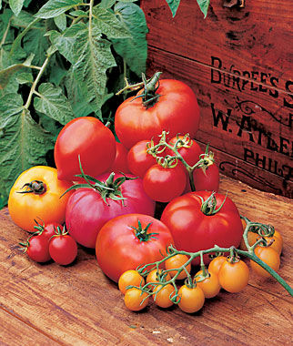 Tomato, Collection, Hall of Fame 9 Plants Tomatoes, Tomato Seeds, Beefsteak Tomatoes, Slicing Tomatoes, Tomato Starts, Tomato Plants
