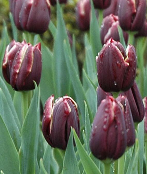 Tulip, Jackpot