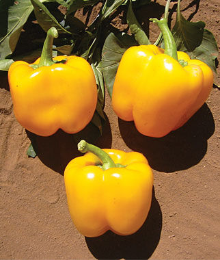 Pepper, Sweet, Golden California Wonder, , large