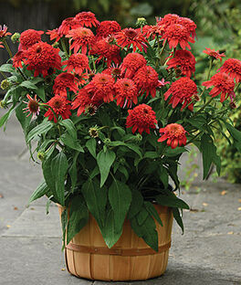 Echinacea, Double Scoop Mandarin , , large