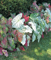 Caladiums, Tropical Mix, , large