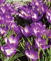 Crocus tommasinianus, 'Barr's Purple', , large
