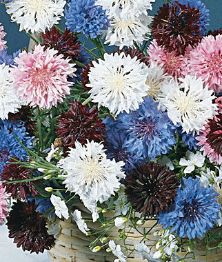Cornflower, Tall Double Mixed Colors, , large
