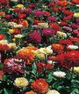 Zinnia, State Fair Mix, , large