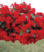 Begonia, Vermillion Red, , large
