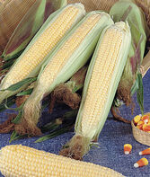 Corn, Kandy Korn (SE)  Hybrid, , large