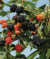 Blackberry, Ouachita PP17162, , large
