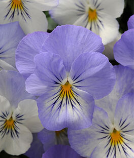 Pansy, Plentifall Frost, , large