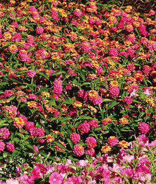Lantana Landmark Rose Sunrise Burpee