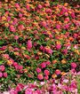 Lantana, Landmark Rose Sunrise, , large