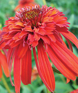 Echinacea, Hot Papaya PP21022, , large