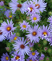 Aster, Raydon's Favorite , , large