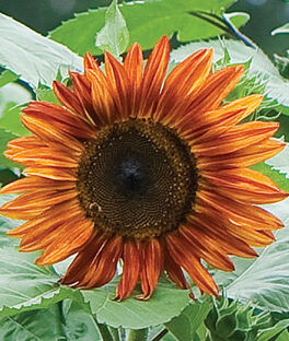Sunflower, Fire in The Sky Hybrid, , large