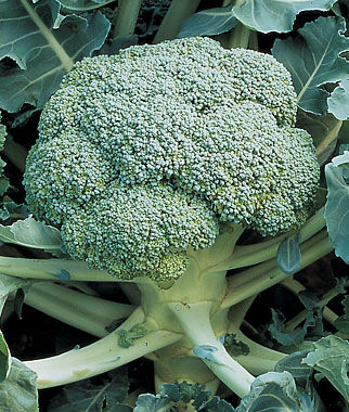 Broccoli, De Cicco, , large
