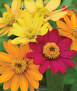 Zinnia, Pinwheel Mix, , large