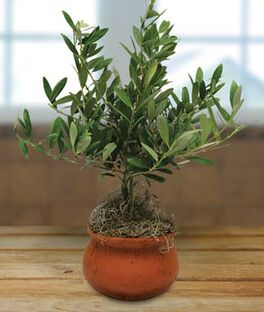 "4"" Clay Washpot Olive Tree, , large"