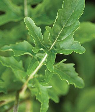 "Arugula, Rocket Wild Roma 1 Pkt. (500 seeds) Arugula Seed, Rocket Seed, Arugula ""Rocket"", Arugula, Garden Seed, Vegetable Seed, Seed, Garden"
