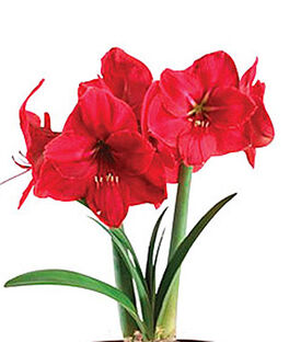 Amaryllis, Red Pearl, , large