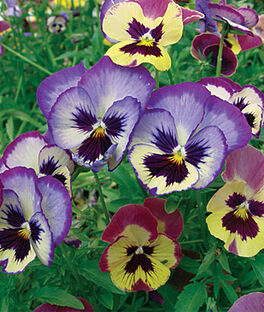 Pansy, Panola Picotees Shades Mix, , large