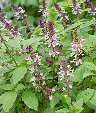 Basil, Persian Organic 1 Pkt., Basil Seeds, Basil Plants, Basil Starts, Herb Seeds, Herb Plants, Garden Seed, Vegetable Seeds