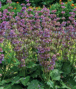 Salvia verticillata, Purple Fairy Tale , , large