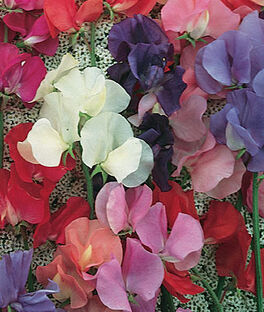 Sweet Pea, Eckfords Finest Mix, , large