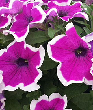 Petunia, Sanguna Picotee Punch 3 Plants, Annuals, Annual Flowers, Annual Flower Plants, Flower Plants, Flowering Annuals, Bedding Plants