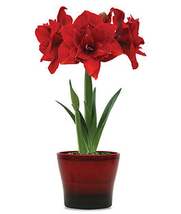 11214M-Amaryllis Double Dragon in Mars Pot, , large