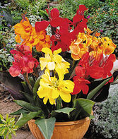 Canna, Dwarf  Mixture, , large