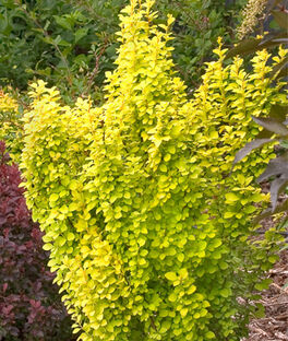 Berberis thunbergii, SunJoy Gold Pillar , , large