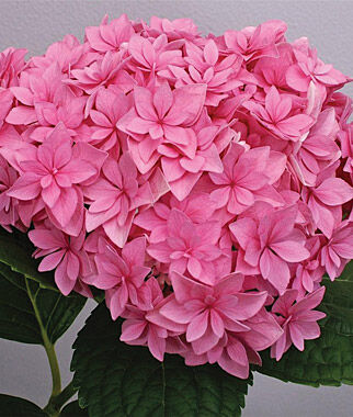 Hydrangea, Double Delights ™ Perfection PPAF , , large