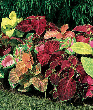 wizard mixed colors coleus seeds and plants, annual flower garden, Beautiful flower