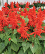 Salvia, Red Hot Mama , , large
