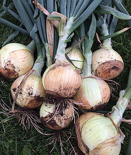 Onion, Highlander Hybrid, , large
