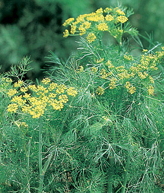 how to grow dill from seed indoors
