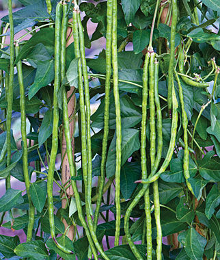 Asparagus Yardlong Bean Seeds And Plants Annual Flowers