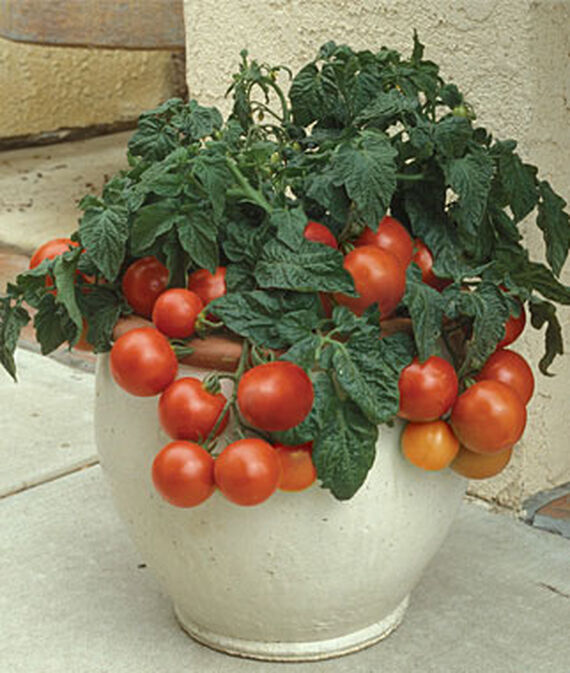 Tomato, Patio Princess Hybrid
