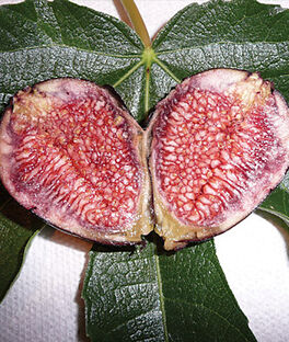 Fig, Violette de Bordeaux, , large
