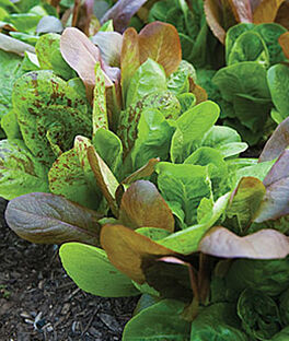 Lettuce, All Season Romaine Blend, , large