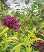 Buddleia, Santana, , large