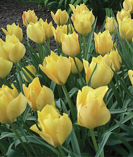 Tulip batalinii, Bright Gem, , large