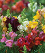Snapdragon, Cinderella Mixed Colors, , large