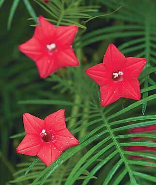 Cypress Vine, Red, , large