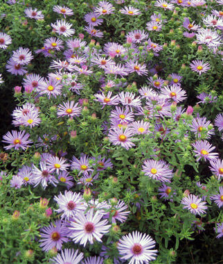 aster, raydon's favorite  asters at burpee, Beautiful flower