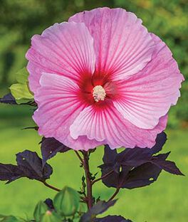 Hibiscus, Starry Starry Night , , large