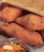 Sweet Potato, Bush Porto Rico, , large