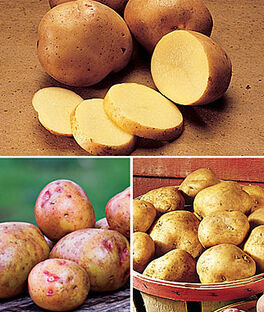 Potato, All Season Collection, , large