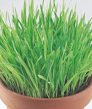 Cat Grass, , large